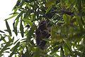 Golden bamboo lemur Hapalemur aureus (15285318664).jpg