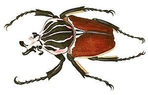Dru Drury - Image: Goliathus giganteus Drury V1P031A
