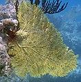 Gorgonia flabellum, Long Bay.jpg