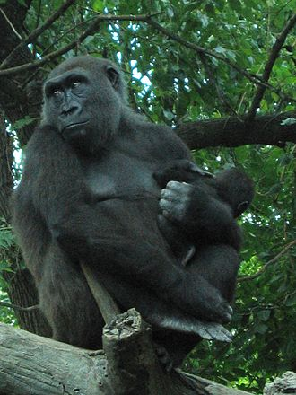 Western gorilla - Female with infant at the Bronx Zoo