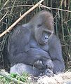 Gorilla gorilla gorilla13.jpg