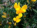 Gorse Flowers - geograph.org.uk - 319868.jpg