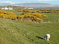 Gorse and grazing - geograph.org.uk - 164624.jpg