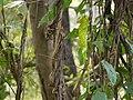 Gosumbe (Kannada- ಗೋಸುಮ್ಬೆ) (4195438088).jpg