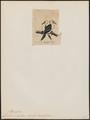 Graculus melanoleucus - 1845-1863 - Print - Iconographia Zoologica - Special Collections University of Amsterdam - UBA01 IZ18000143.tif