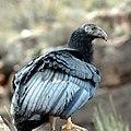 Grand Canyon National Park California Condor 350 fledged (5735623548).jpg