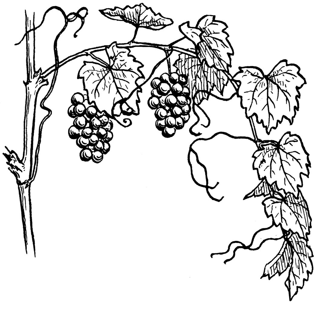 Line Drawing Wiki : File grapevine psf wikimedia commons