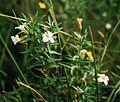Gratiola officinalis4.jpg