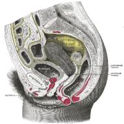 Coupe sagittale d'un bassin féminin, segment droit