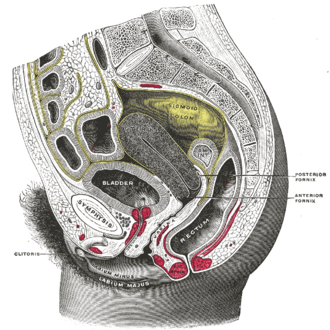 External sphincter muscle of female urethra - Sagittal section of the lower part of a female trunk, right segment. (Sphincter not labeled)