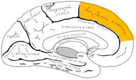 Gray727 superior frontal gyrus.png