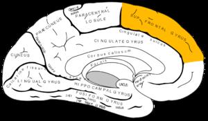 Medial frontal gyrus - Medial surface of left cerebral hemisphere.