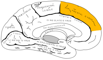 Medial frontal gyrus - Medial surface of left cerebral hemisphere.