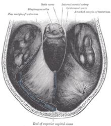 Occipital Lobe Anatomy | RM.