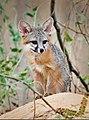 Gray Fox (45951688585).jpg