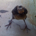 GreatTailedGrackleChick.png