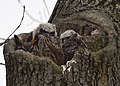 Great Horned Owl with two toddlers getting 'curiouser and curiouser' (32994922532).jpg