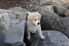 Pyrenean Mountain Dog Wikipedia