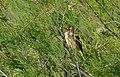 Great Reed-warbler (Acrocephalus arundinaceus) singing ... (26066723864).jpg