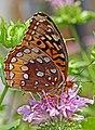 Great Spangled Fritillary - Speyeria cybele, Merrimac Farm Wildlife Management Area, Nokesville, Virginia.jpg