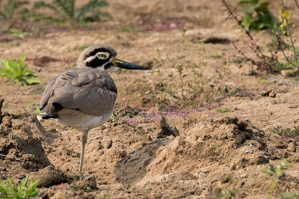 Great Stone Curlew