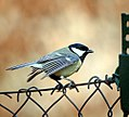 Great tit (27642530373).jpg