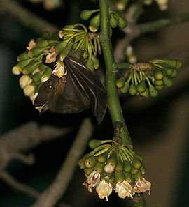 Greater short-nosed fruit bat (Cynopterus sphinx) feeding on Kapok (Ceiba pentandra) in Kolkata W IMG 3882.jpg