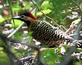 Green-barred woodpecker - Lip Kee.jpg