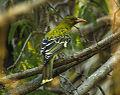Green Oriole - Darwin S4E3900 (22146971130).jpg
