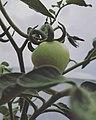 Green Tomato plant.jpg