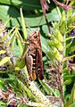 Grenchen - Orthoptera 2.jpg