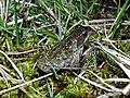 Grenouille verte (Pelophylax sp.).jpg