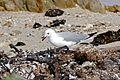 Grey-headed Gull (Chroicocephalus cirrocephalus) feeding on Sea Slaters (Ligia sp.) (32859159486).jpg