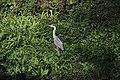Grey Heron - Ardea cinerea (44702414295).jpg