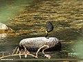 Grey Wagtail (Motacilla cinerea) (15273507284).jpg