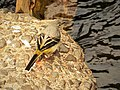 Grey Wagtail Motacilla cinerea (46647033111).jpg