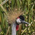 Grey crowned crane (Balearica regulorum gibbericeps) head.jpg