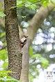 Grote bonte specht - Great spotted woodpecker (17454618464).jpg