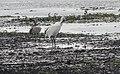 Grus canadensis (Sandhill Crane) 40.jpg