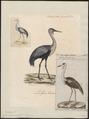 Grus carunculata - 1825-1834 - Print - Iconographia Zoologica - Special Collections University of Amsterdam - UBA01 IZ17300103.tif