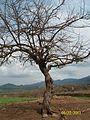 Guachimontones Ruinas Arqueologicas y arboles vivos.JPG