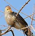 Guira Cuckoo (Guira guira) (31698292185).jpg