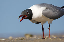 Gull-eye-level-3.jpg
