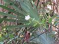 Gumbo Limbo wildflower.JPG