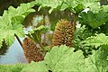 Gunnera manicata en fleur (Arboretum, Chatenay-Malabry) (47937702928).jpg