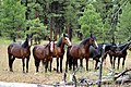 HERD OF WILD HORSES LOOKOUT MOUNTAIN HERD-OCHOCO (25365994082).jpg
