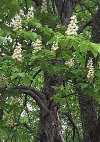 HFH Horse Chestnut Tree.jpg