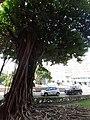 HK TST 尖沙咀 Tsim Sha Tsui 梳士巴利道 Salisbury Road Chinese banyan tree January 2020 SS2 10.jpg