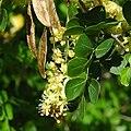 Haematoxylon campechianum flofru.jpg