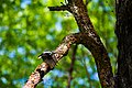 Hairy woodpecker (33028211353).jpg